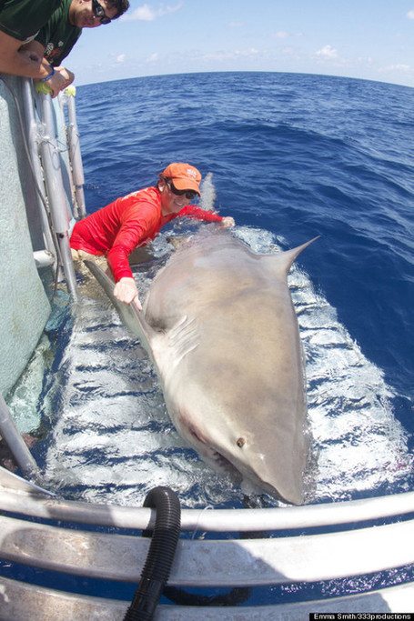 10ft 1000lb bull shark caught in Florida Keys in 150ft of water | Midnight Rambler | Scoop.it