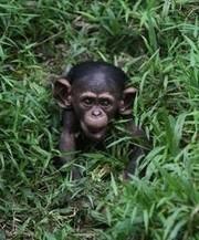 Des primates proches de la disparition menacés par le projet d'une société US au Cameroun | Cameroun Tourisme, cultures et nature | Scoop.it