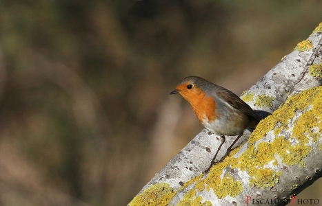 Rougegorge familier (Erithacus rubecula), European Robin | Fiches nature ClC | Scoop.it