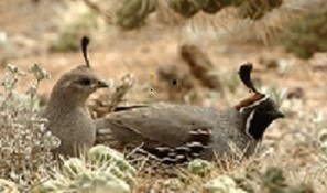 AZGFD.gov Sunday is last day to hunt Arizona's quail | GarryRogers Biosphere News | Scoop.it