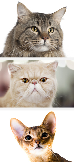 What Does the Shape of a Cat's Face Say About Its Personality? | Pet Health Tips | Scoop.it