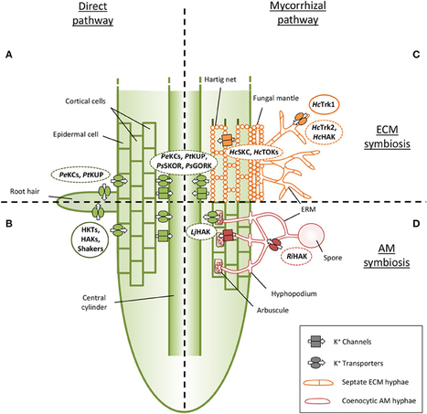 Frontiers | The role of mycorrhizal associations in plant potassium nutrition | Plant Traffic and Transport | Molecular Biology and Life Science | Scoop.it
