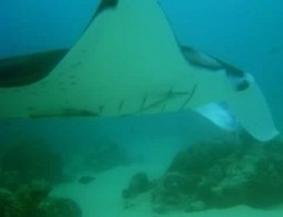 A Ray of Hope for Mantas: Marine biologist makes case for protecting 'devilfish' - La Jolla Light | Marine life | Scoop.it
