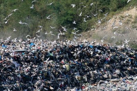 Pollution au plastique: les mouettes en danger | Toxique, soyons vigilant ! | Scoop.it