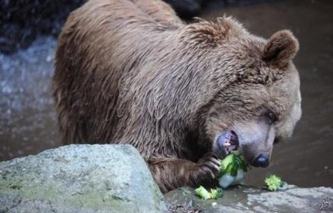 Le nombre d'ours augmente dans les Pyrénées: 31 détectés l'an dernier | CRAKKS | Scoop.it