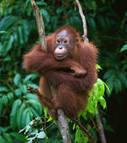 Des adaptations à la disette semblables chez l'orang-outan et chez nos ancêtres ? | Aux origines | Scoop.it
