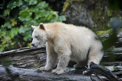 The World's Largest Temperate Rainforest Has Just Been Saved   Oceans and Wildlife   Scoop.it
