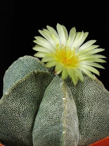 Astrophytum myriostigma – Bishop's Cap, Bishop's Hat, Bishop's Miter Cactus   World of Succulents   Cacti (Cactus)   Scoop.it