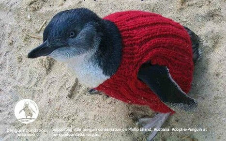 Australian plea to knitters to make pullovers to aid oil-smeared penguins - Telegraph | Nature | Scoop.it