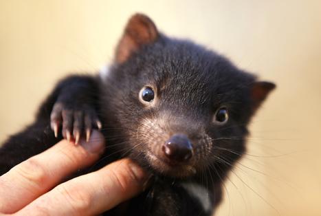 40 baby Tasmanian devils born - sparking new hope ... - ZME Science   Devil Facial Tumour Disease   Scoop.it