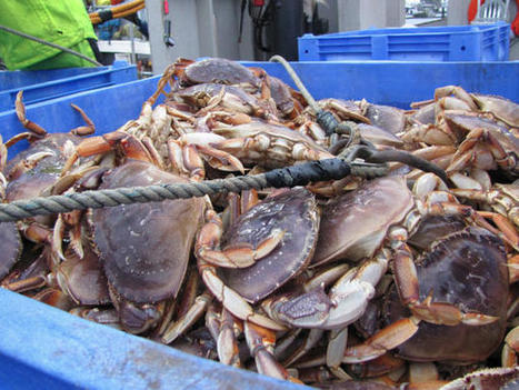 Carbon Pollution Could Be A Big Problem For Northwest Crab Business | Changing Chemistry - The People Impacted by Ocean Acidification | Scoop.it