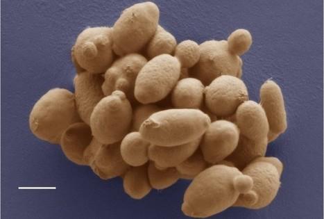 Beetles Helped New Yeast Species Travel The Globe - RedOrbit | Bettina BA | Scoop.it