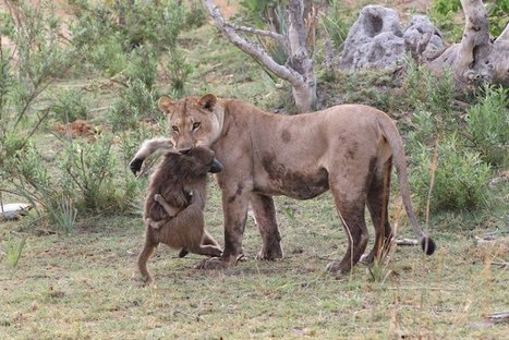 A Lioness Captures A Baby Baboon And Does The Last Thing You'd Expect   Animal Empathy & Natural Pet Care   Scoop.it