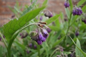 Comfrey (Symphytum species) is essential to organic gardening. | Local Economy in Action | Scoop.it