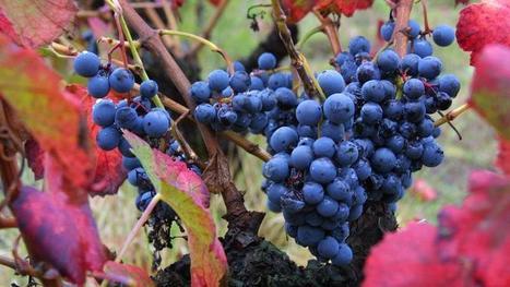 Le sud de la France est la 1ère région viticole au monde   un autre regard sur l'actu   Scoop.it