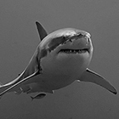 Shark, Human Proteins are Surprisingly Similar - Scientific Computing | marine biology | Scoop.it