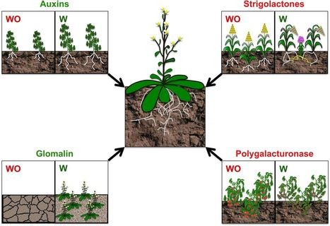 Biotic Interactions in the Rhizosphere: A Diverse Cooperative Enterprise for Plant Productivity | Plant-Microbe | Scoop.it