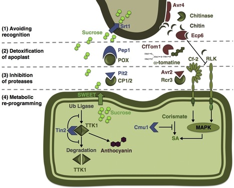 Curr Opin Plant Biol: Inside plant: biotrophic strategies to modulate host immunity and metabolism (2014) | plant-microbe interactions | Scoop.it