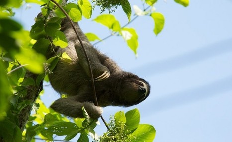 To Breathe Upside-Down, Sloths Tape Organs To Their Ribs – Phenomena: Not Exactly Rocket Science | Rainforest EXPLORER:  News & Notes | Scoop.it