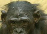 Els bonobos joves gestionen les seves emocions com els nens - El Periódico de Catalunya | La intel·ligència emocional en els infants | Scoop.it