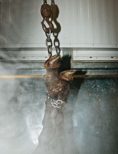 Can slaughterhouses be humane? | Ethics of eating | Scoop.it
