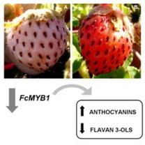 Increased accumulation of anthocyanins in Fragaria chiloensis fruits by transient suppression of FcMYB1 gene   strawberry   Scoop.it