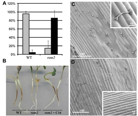 A Common Signaling Process that Promotes Mycorrhizal and Oomycete Colonization of Plants (2012) | Biotic interactions | Scoop.it