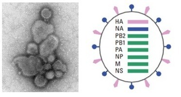 Peptides for Influenza Research | Peptide Synthesis | Scoop.it