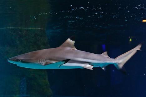 Les câbles sous-marins de Google attaqués par des requins - RTL.fr | Requins en Péril | Scoop.it