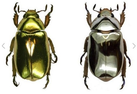 Bionanotechnology: Progressively Thinner Layers Of Chitin Make Metallic Beetles Shine | Amazing Science | Scoop.it