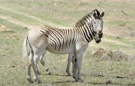 Le quagga, cousin des zèbres disparu il y a un siècle, ressuscité   Biodiversité   Scoop.it