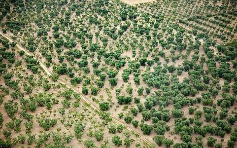 Bacteria destroying Puglia's precious olive groves could ruin Italy's oil industry   Almanac Pests   Scoop.it