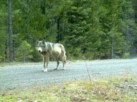 Oregon, a Great Place To Be a Wolf | Oceans and Wildlife | Scoop.it