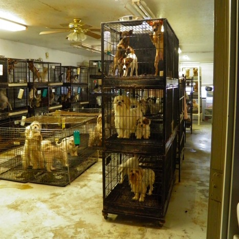 723 Counts Of Animal Cruelty Filed In Alleged Puppy Mill Case ... | Animal Cruelty | Scoop.it