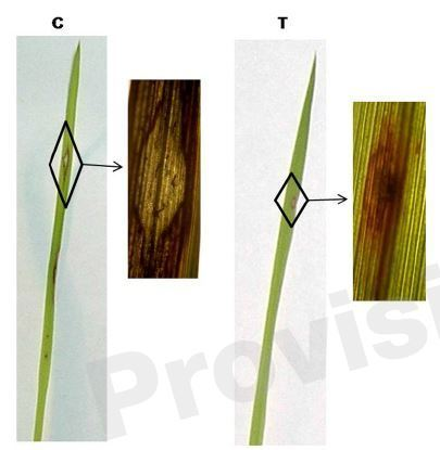 Pigeonpea hybrid-proline-rich protein (CcHyPRP) confers biotic and abiotic stress tolerance in transgenic rice | Rice Blast | Scoop.it