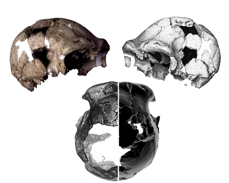 The 400,000 year old Ceprano fossil and implications for the evolution of Homo heidelbergensis | Views of Evolution | Scoop.it