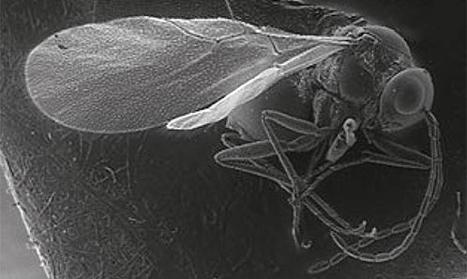 Faune des hyménoptères Charipinae du Mercantour : trois nouvelles espèces | EntomoNews | Scoop.it