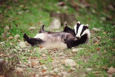 David Attenborough Backs The Badgers! - The Quietus | Thegetoff | Scoop.it