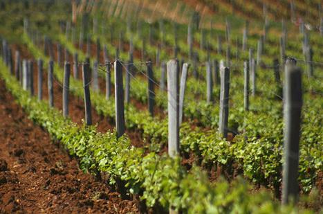 DRC 2013 wines & vintage review | Gastronomy & Wines | Scoop.it