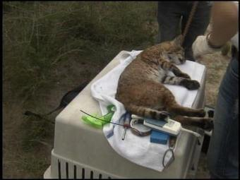 Nature Report: Bobcat Captures - KGBT-TV | Cats Rule the World | Scoop.it