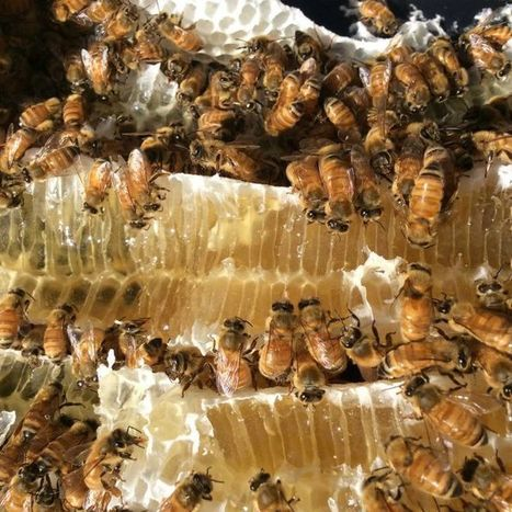 WA beekeepers rejoice in full karri forest bloom | GarryRogers Biosphere News | Scoop.it