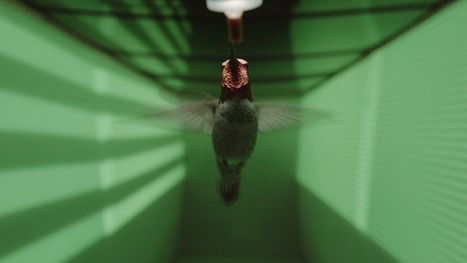 Hummingbird vision wired to avoid high-speed collisions | News we like | Scoop.it