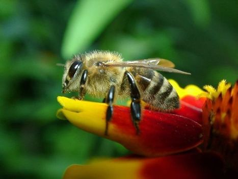 Aggressive bees looking for a drink | CALS in the News | Scoop.it