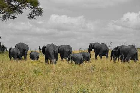 Tanzania tries again! New anti-poaching effort to halt corruption and mega-elephant slaughter  | Wildlife Trafficking: Who Does it? Allows it? | Scoop.it