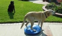 Benefits of Balance Training Your Dog | Interesting & Odd Pet Topics | Scoop.it