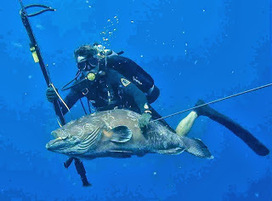 SCUBA SCOOP/latest dive stories: Lessons for Life: Wounded Grouper Strikes Back, Fatally | All about water, the oceans, environmental issues | Scoop.it