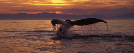 Do whales have graveyards where they prefer to die?   Oceans and Wildlife   Scoop.it