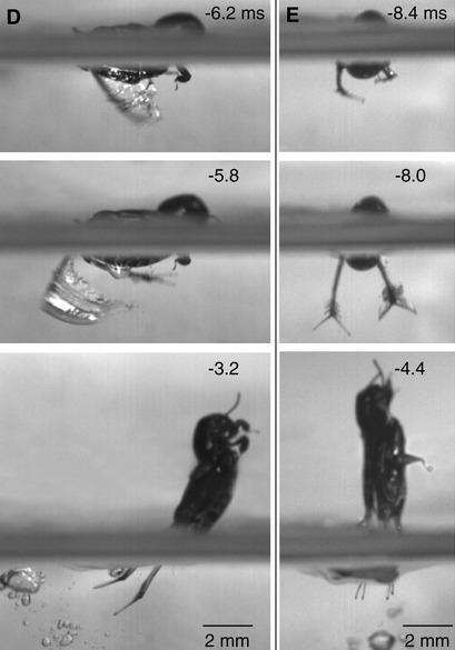 Comment le grillon pygmée bondit hors de l'eau | EntomoNews | Scoop.it
