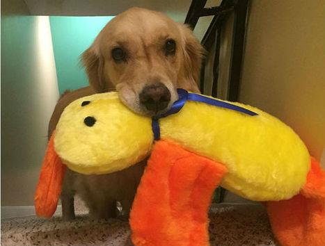 Ogni notte, il cane Mojito, sceglie un pupazzo diverso per dormire | My Pet's Hero | Scoop.it