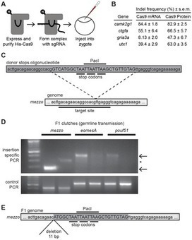 Efficient Mutagenesis by Cas9 Protein-Mediated Oligonucleotide Insertion and Large-Scale Assessment of Single-Guide RNAs | Genome Engineering | Scoop.it